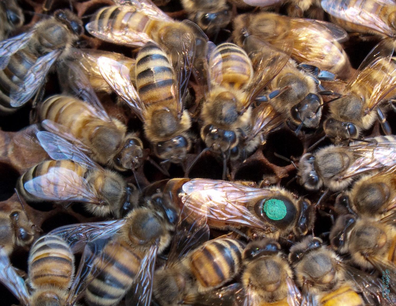queen bee - photo #32