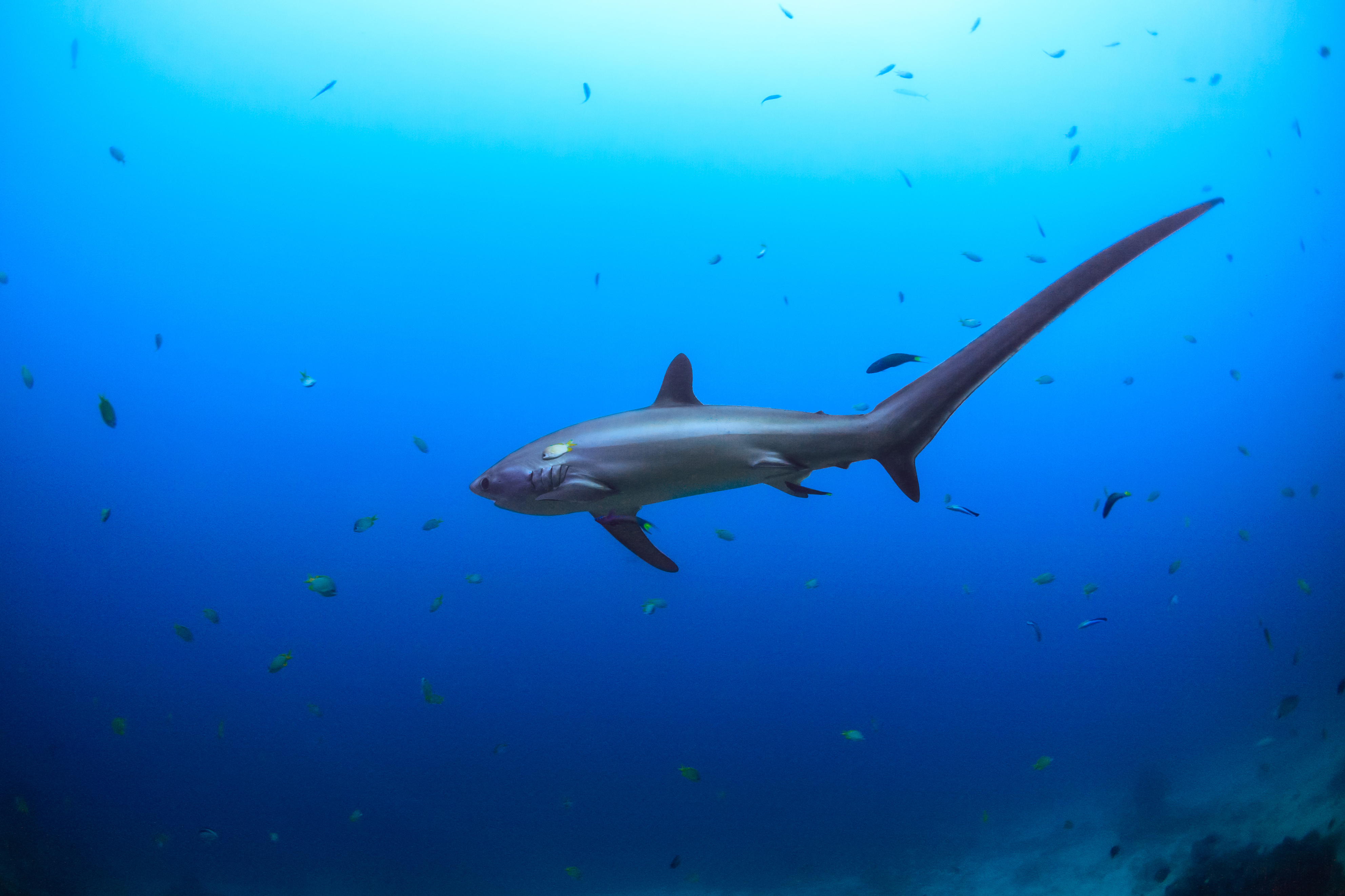 Tracking a rarely seen, endangered 'ninja' shark in the ...