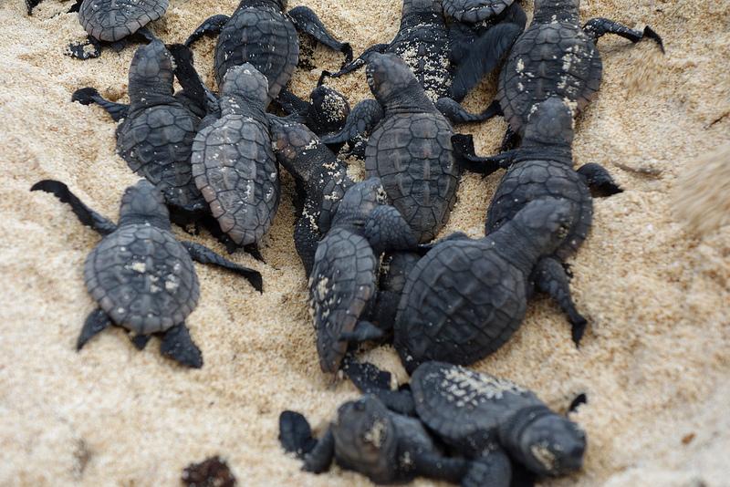 Turtle embryo - photo#22