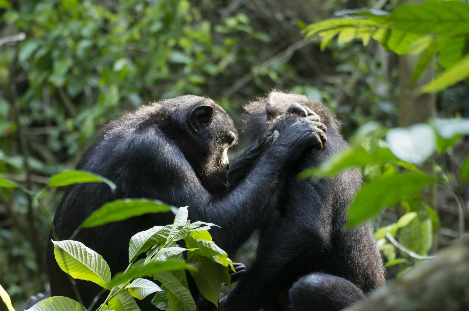 Aging Bonobos Become Farsighted, Just Like Humans