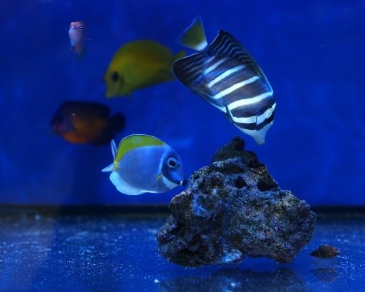 Killing nemo cyanide threat to tropical fish for Marine fish store