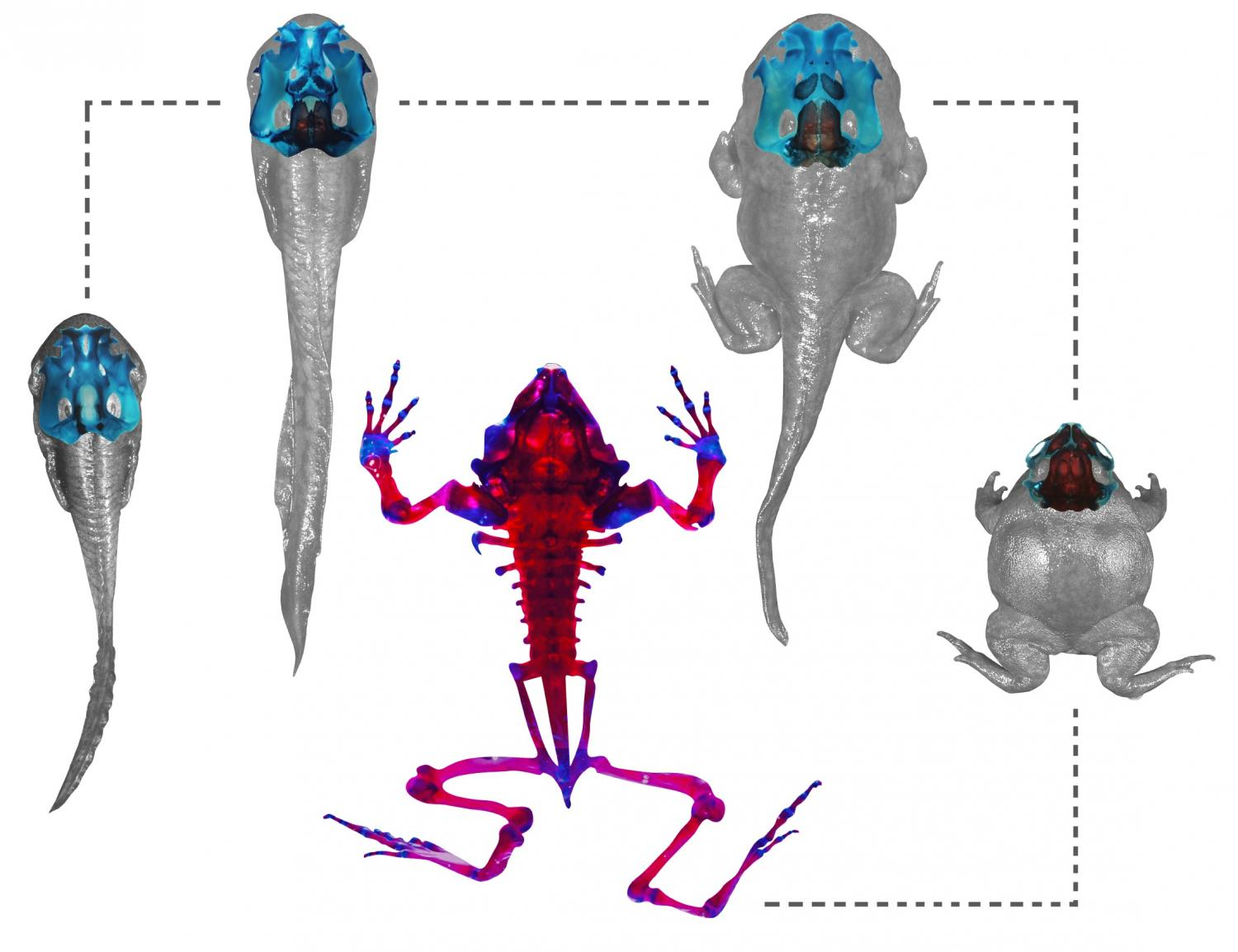 Rapid transformation turns clinging tadpoles into digging for Frog transformation