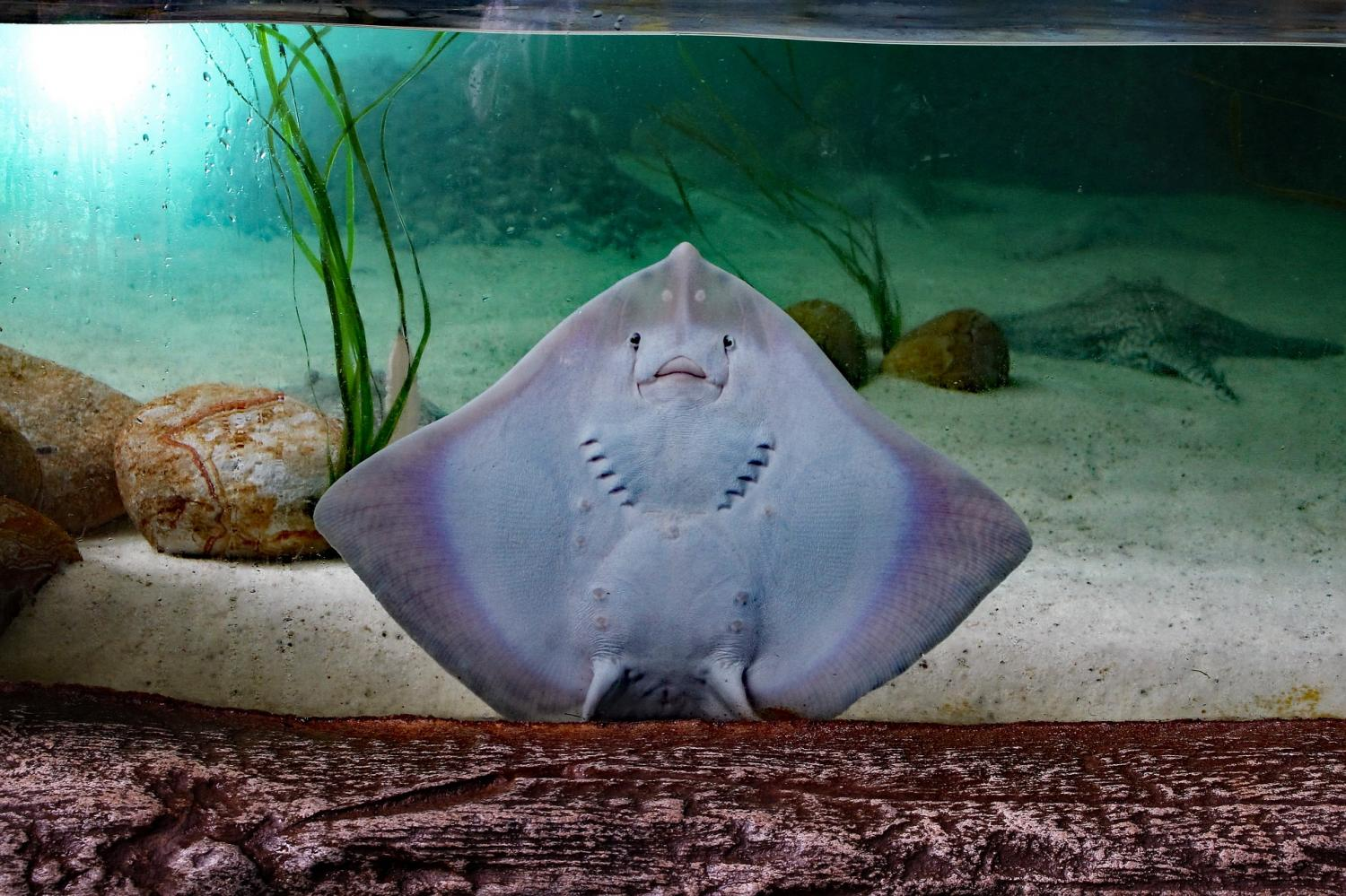 Stingrays found to chew their food before swallowing for Is a stingray a fish