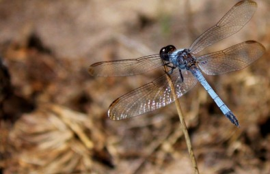 New species of dragonfly found near urban water supply
