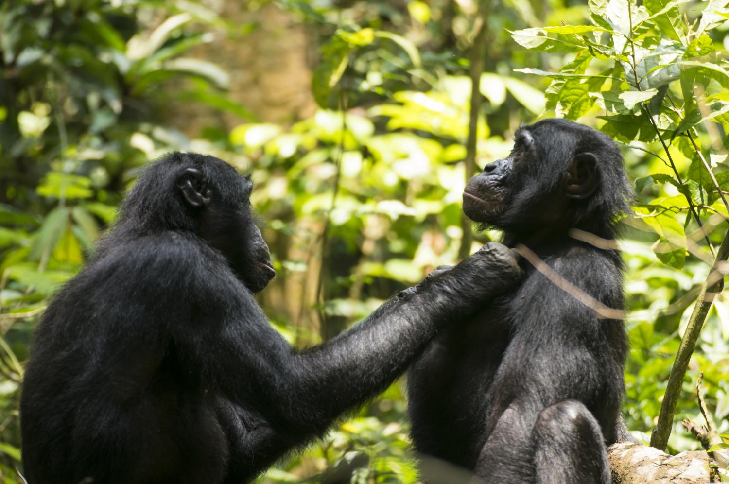 Just like us: Bonobos also get far-sighted