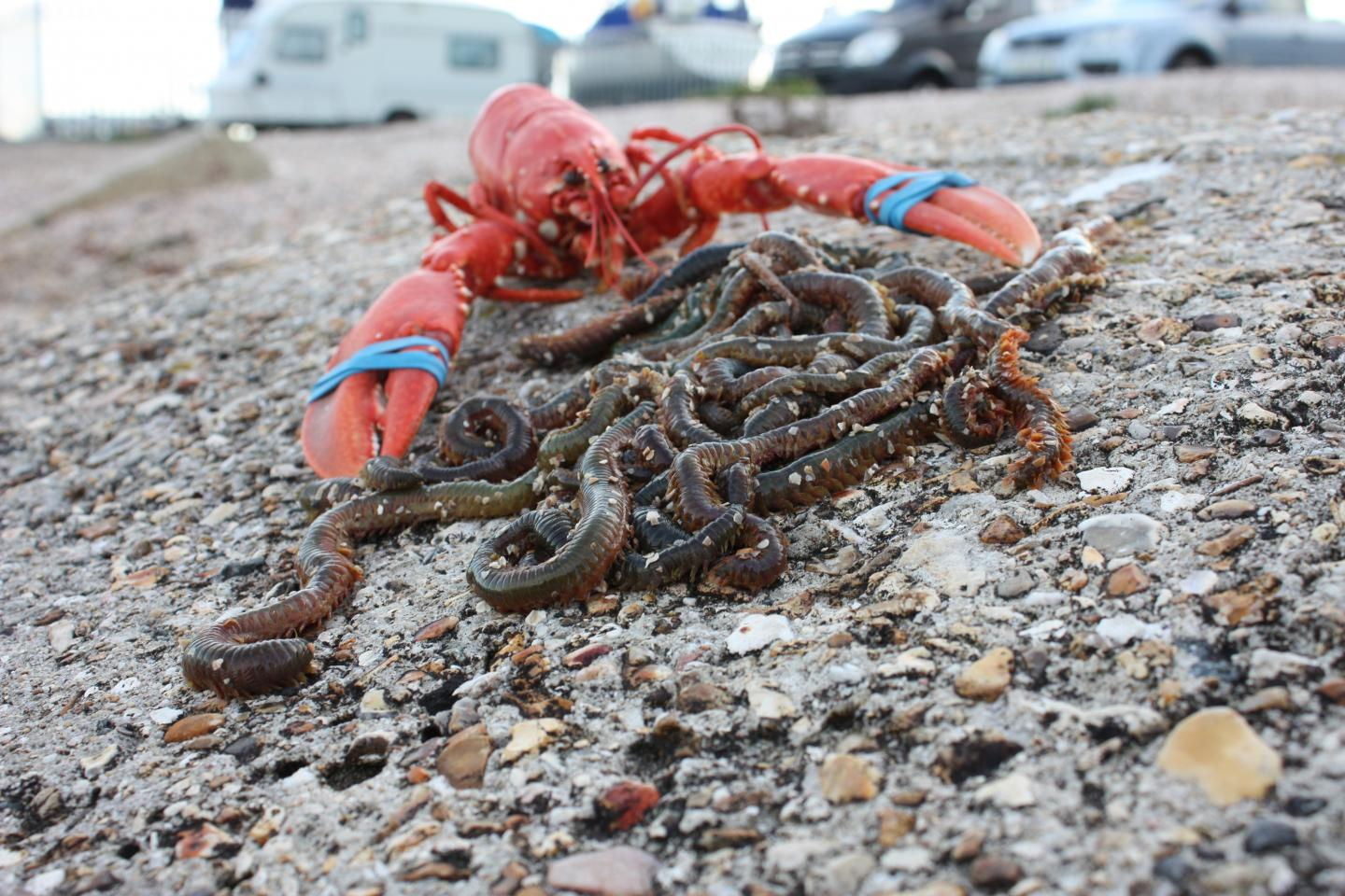 how to catch beach worms for bait