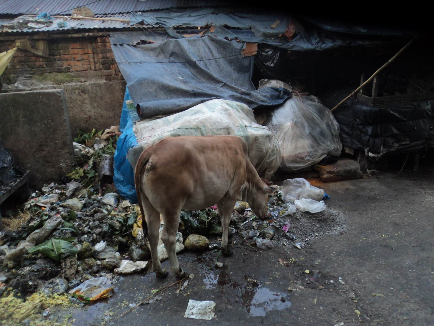 photo image Cattle roaming freely on Bangladesh streets increase health and environmental hazards