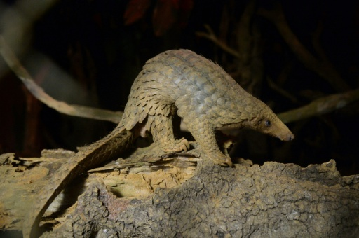 China makes largest ever pangolin scale seizure
