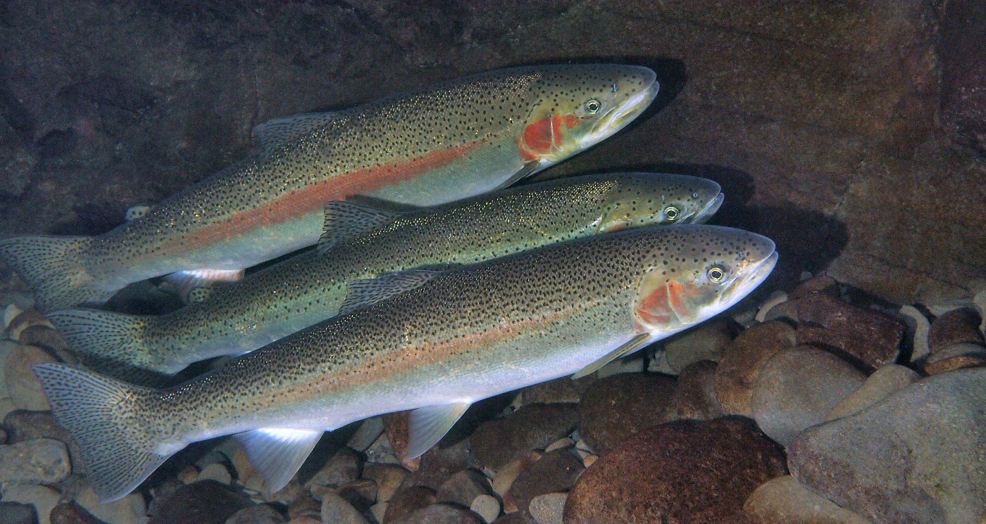 Dna evidence shows that salmon hatcheries cause for What is steelhead fish
