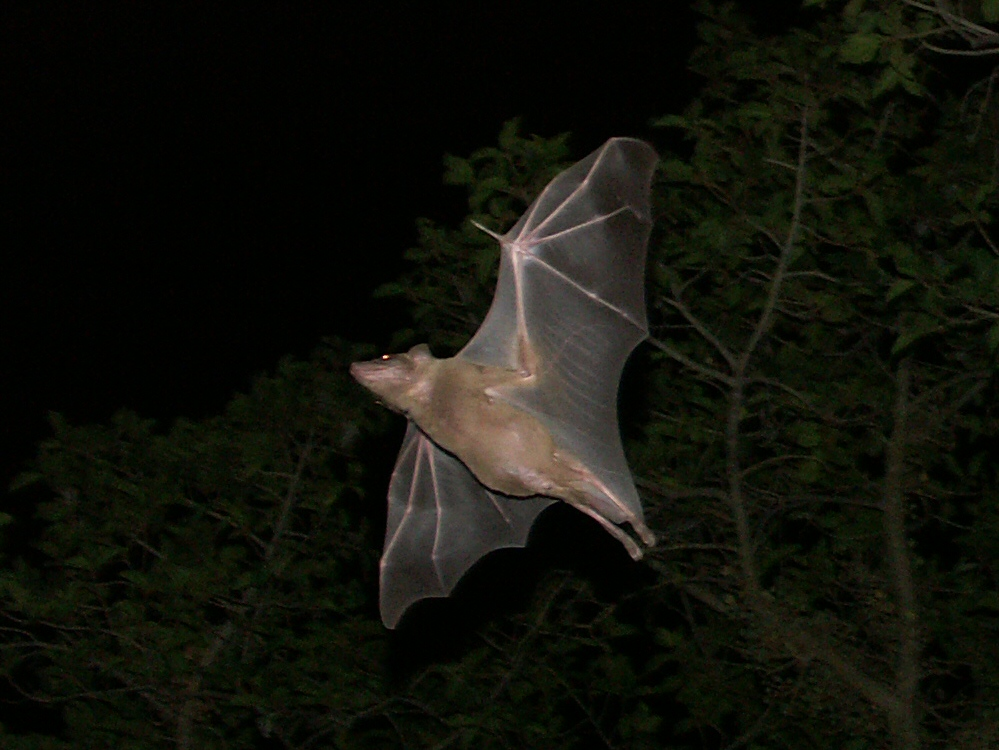 Study of bat vocalizations shows they are communicating with one another