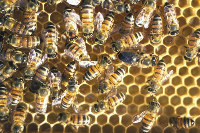 drones and worker bees with 2016 06 Honeybees Males on Naturalist worksheets also Honey Bee Presentation Final likewise Fibonacci as well Watch together with All About Honey Bees.