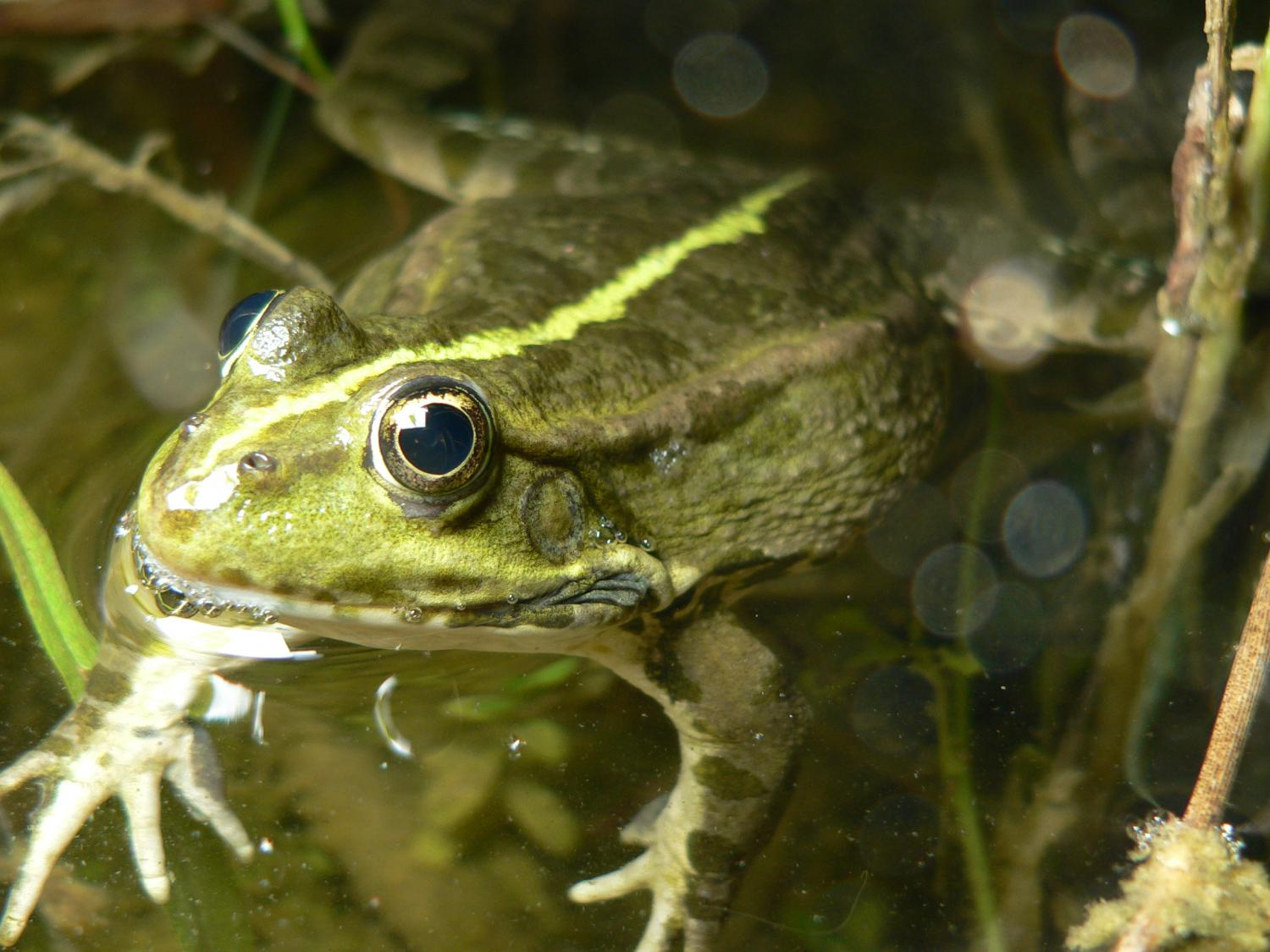 Invasive water frogs too dominant for native species