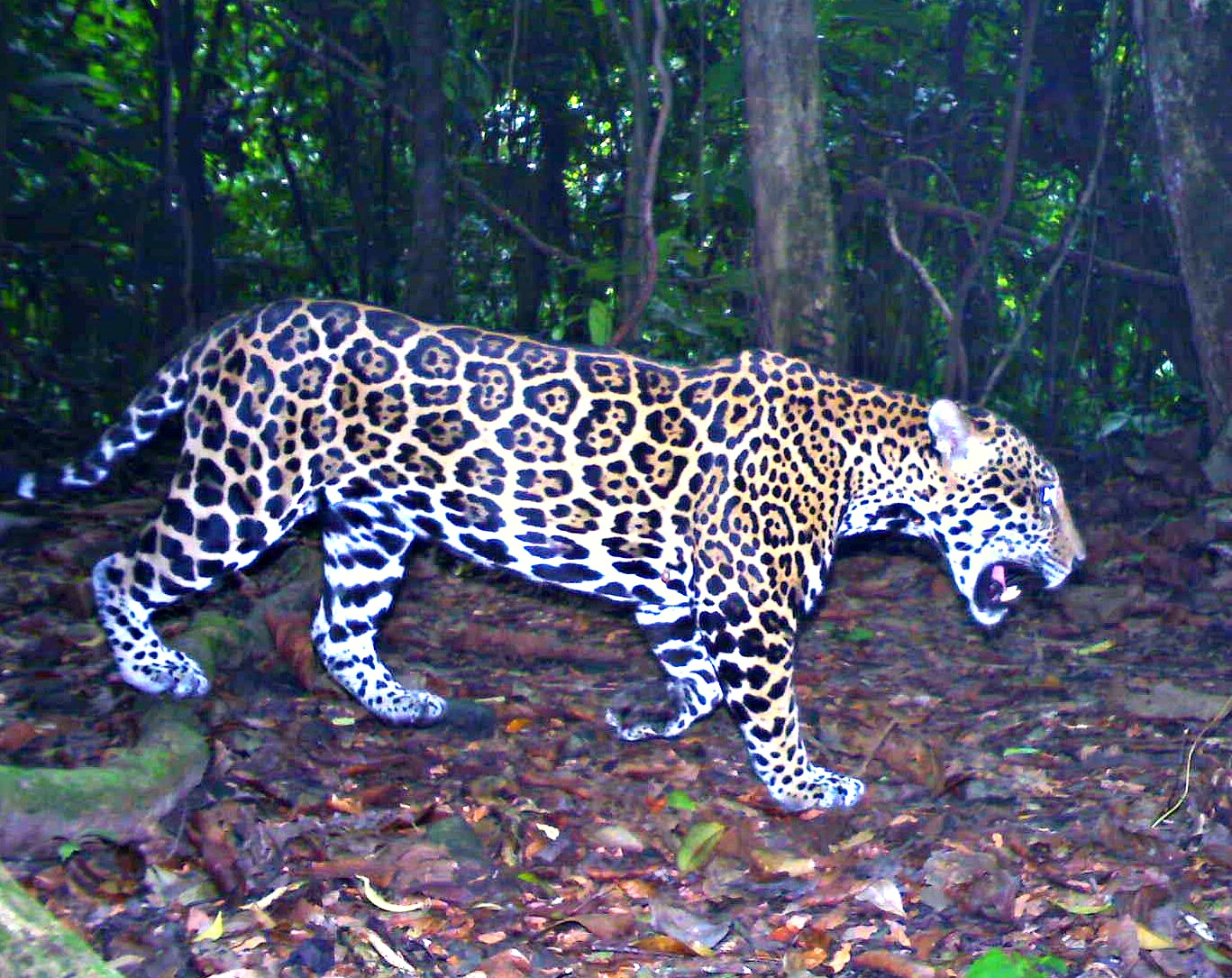 Jaguar scat study suggests restricted movement in areas of conservation importance in Mesoamerica