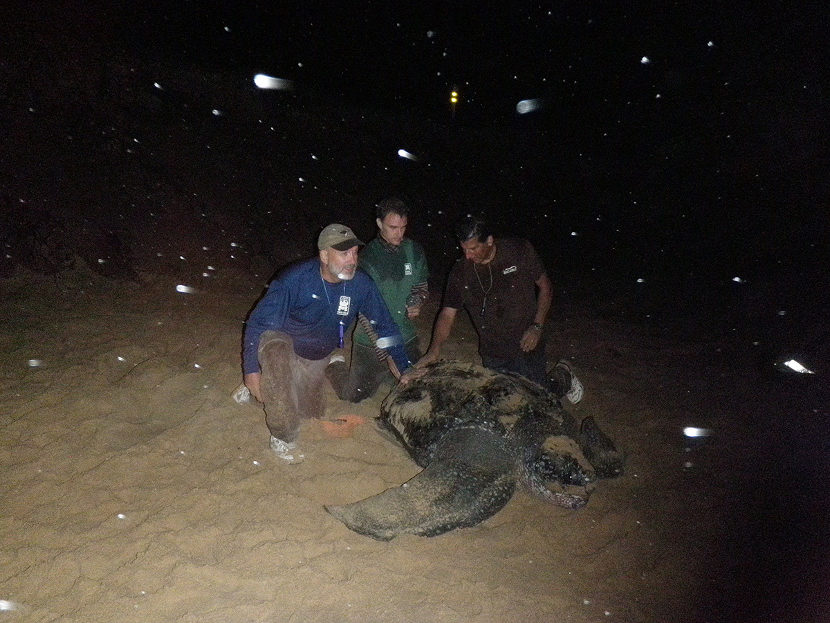 Natural nomads, leatherback turtles opt to stay in place