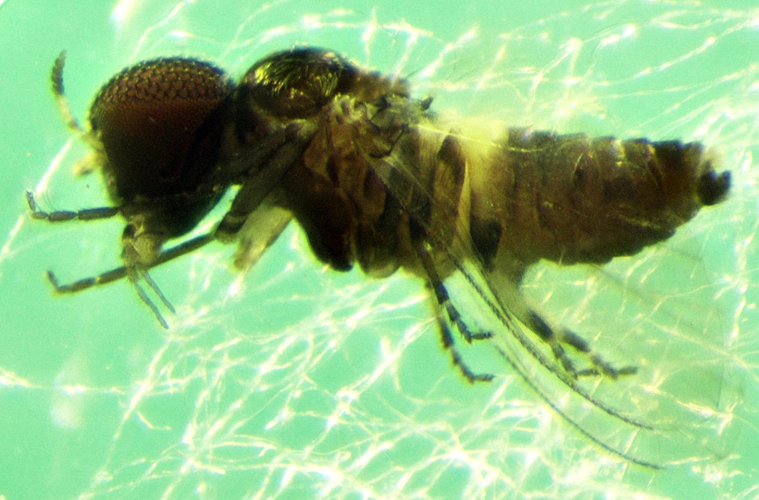 A New Species Of Fly Was Discovered On An Island