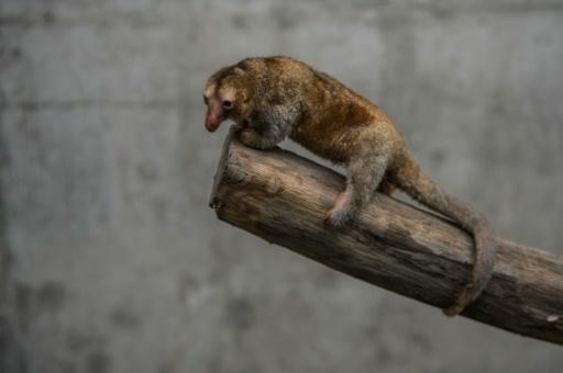 Pygmy anteater pet