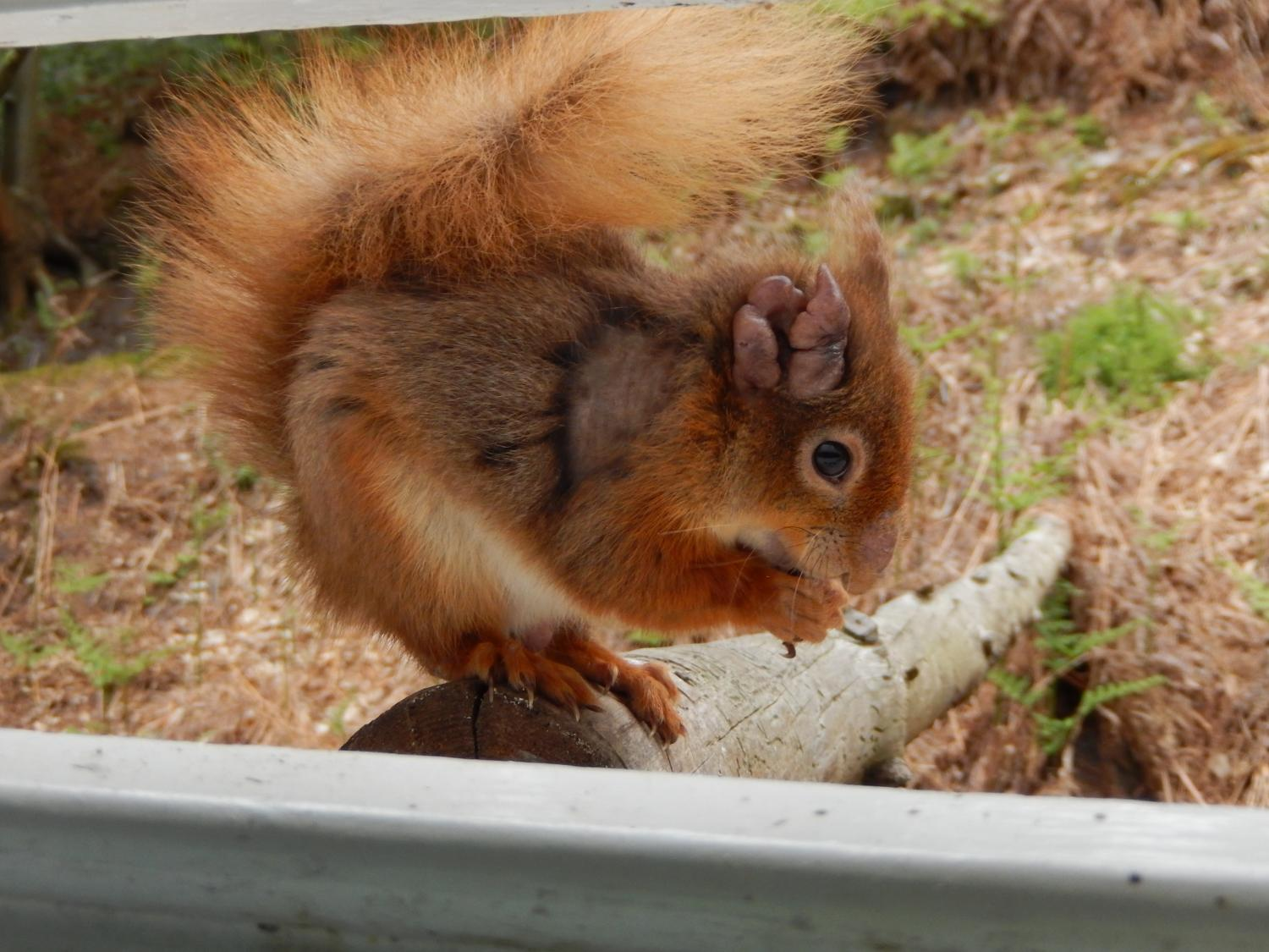 Red squirrels in the British Isles are infected with leprosy bacteria