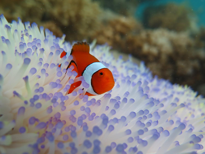 Saving nemo bleaching threatens clownfish for A clown fish
