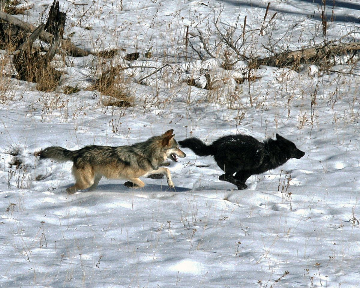 Lone wolf: Scientists find America has only one true wolf species
