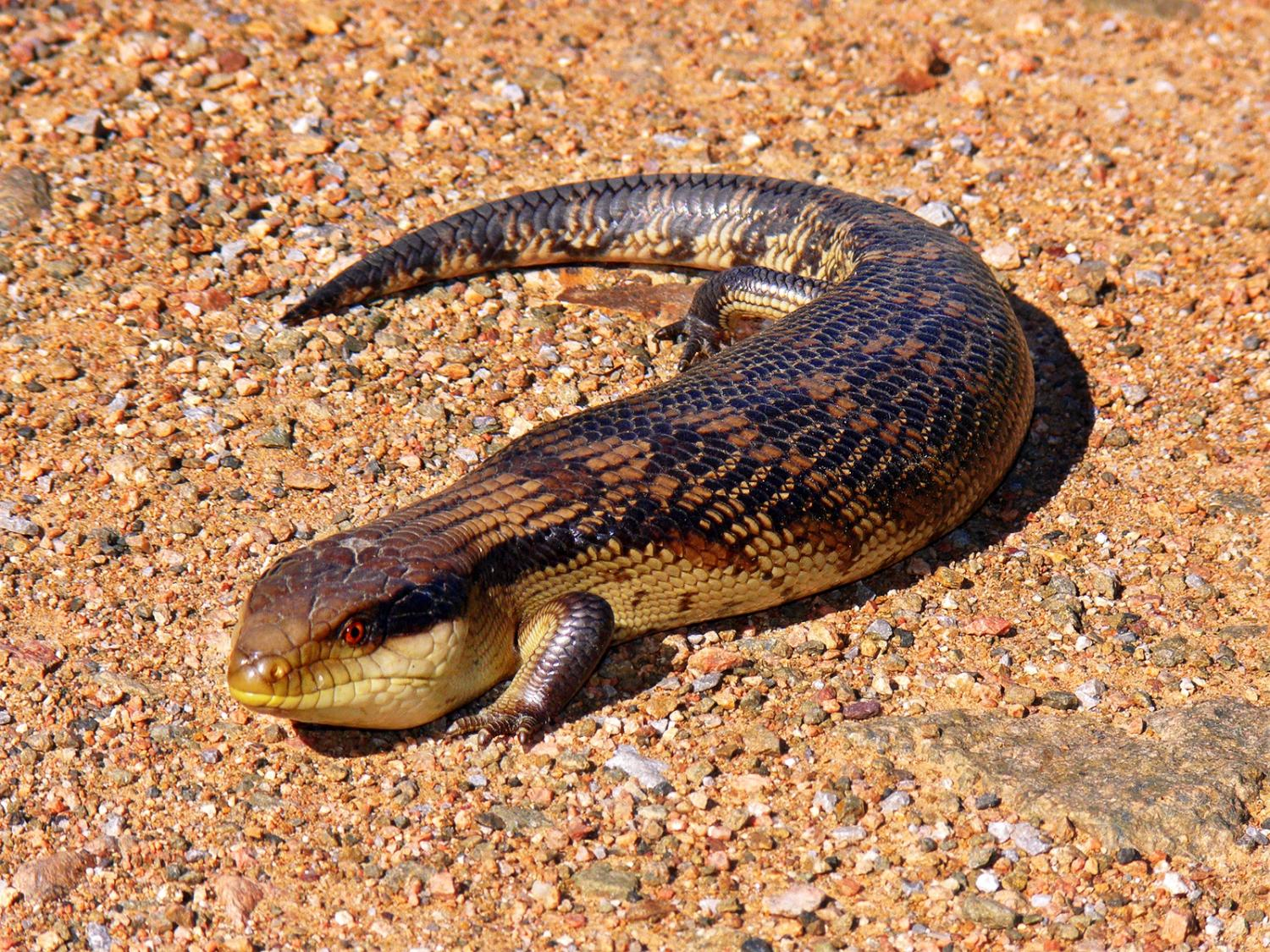 Genetic study of skinks suggests extreme matrotrophy evolved only once in Africa