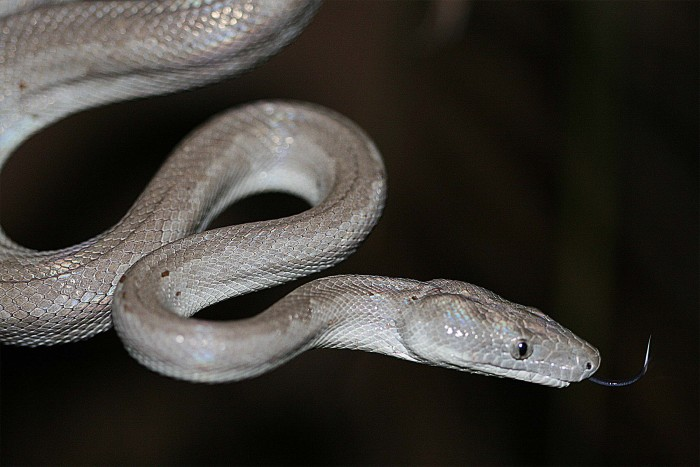 Slithery new species: Researchers discover Silver Boa in the Bahamas Islands