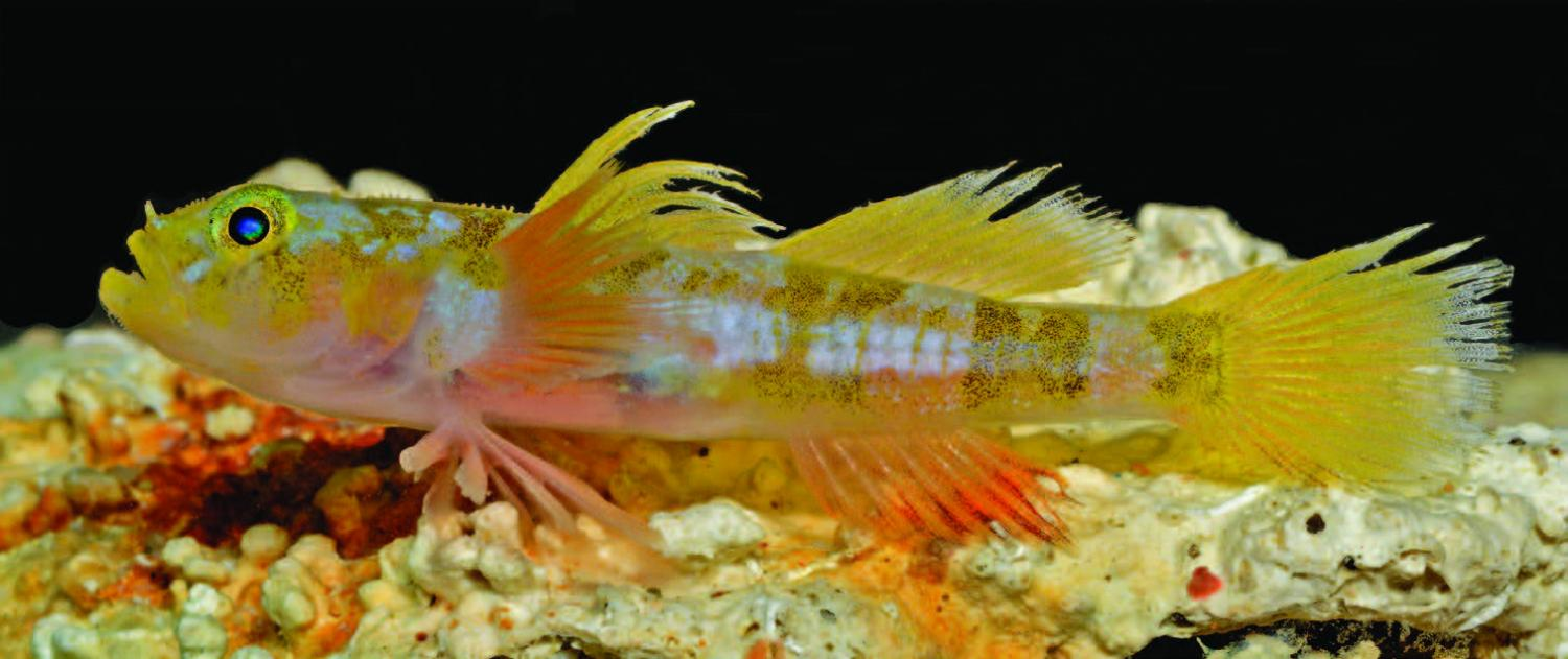 The godzilla goby is the latest new species discovered by for New fish discovered
