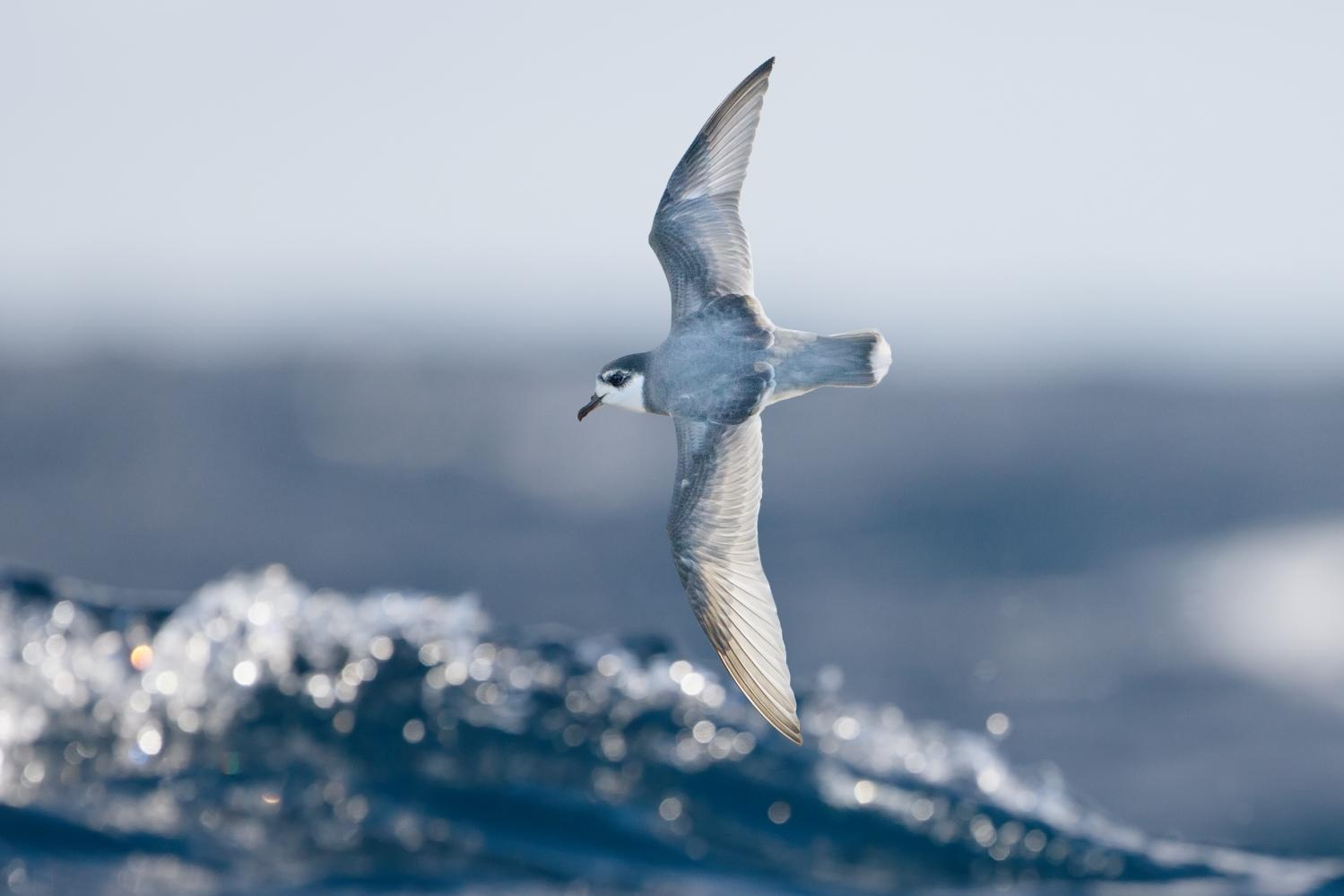 Seabirds eat plastic trash because it smells like food, UC scientists say