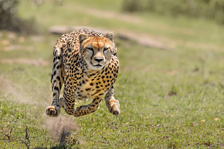 Wild cat brains: An evolutionary curveball