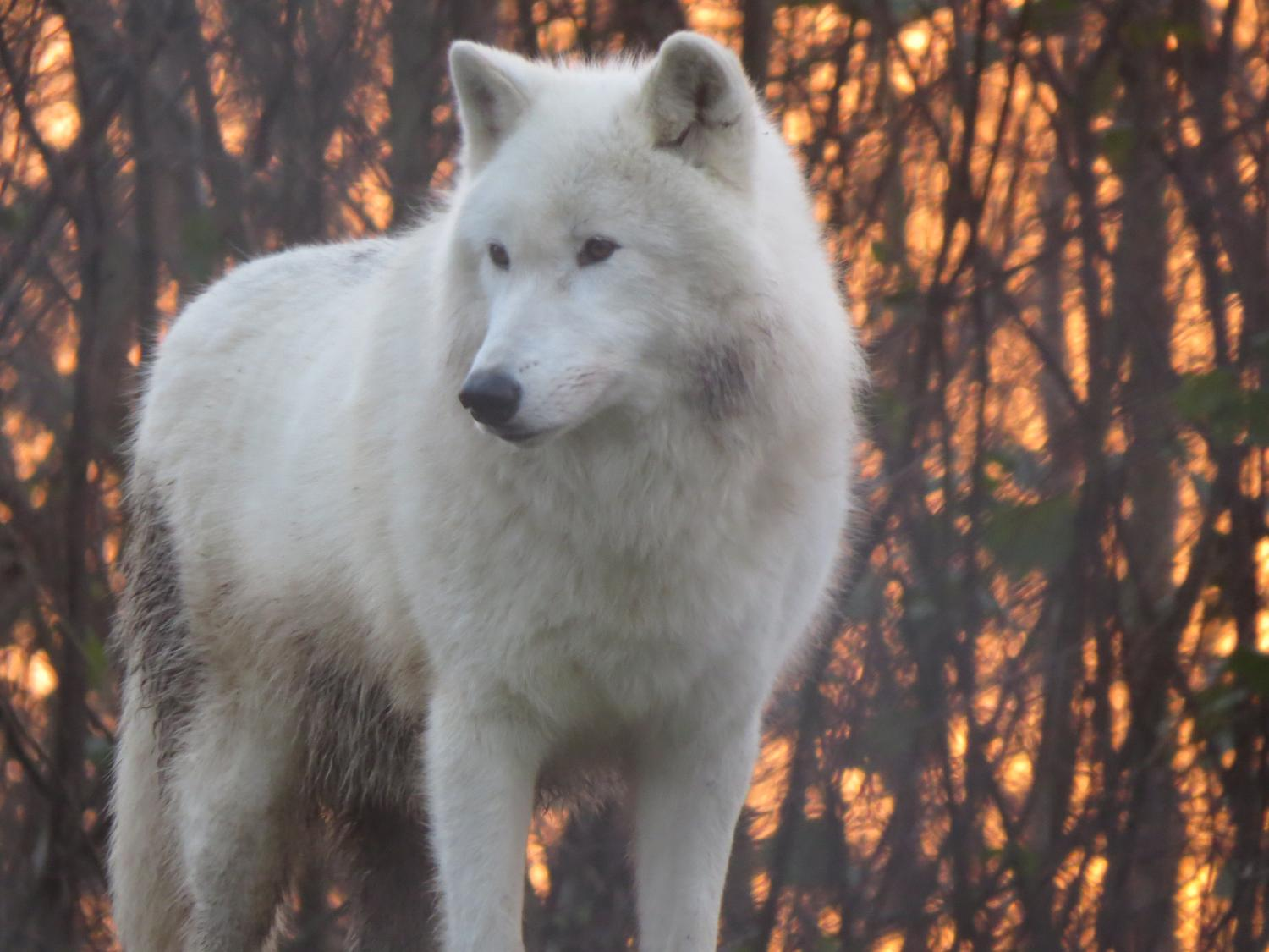 species and subspecies of wolves Most of the wolves worldwide are subspecies of the i never thought that there were 16 types of wolf ignorant, self-centered species wolves are.