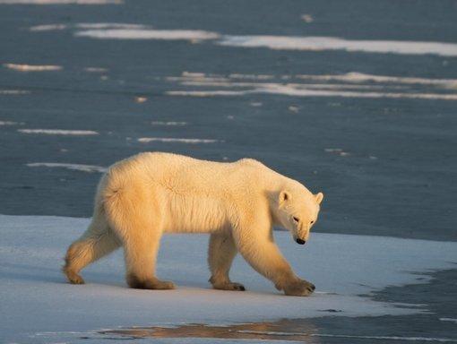 US Designates 'critical' Polar Bear Habitat In Arctic