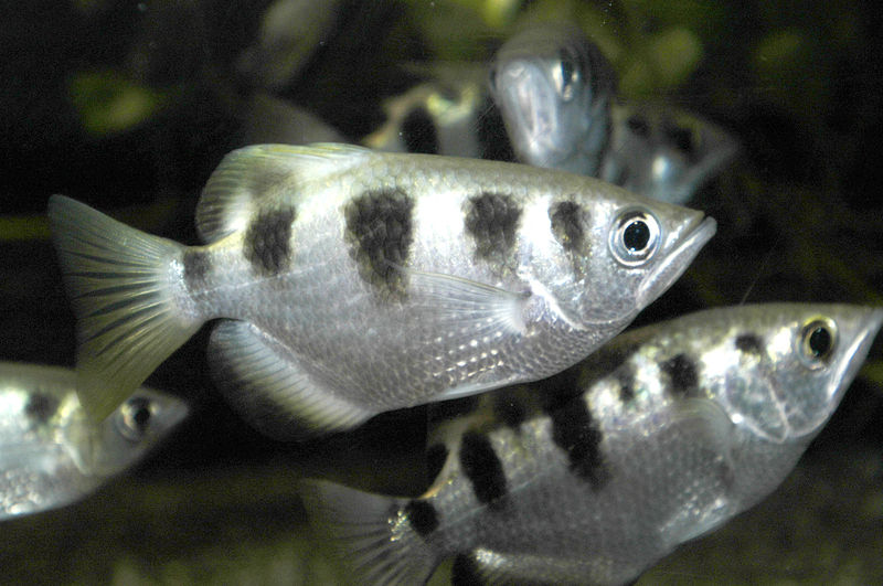 Banded archerfish, Toxotes jaculatrix . Image: by R.Wampers, via ...