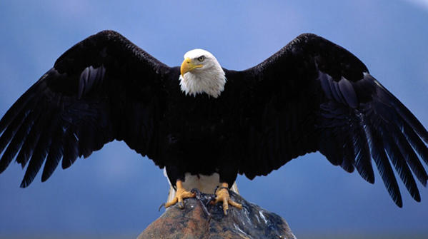 bald eagles an amazing comeback story