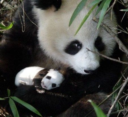 panda extinction Native to the mountain forests of southwest china, the giant panda is one of the most beloved animals in the world giant pandas are identified by their distinctive black and white coloring their ears, muzzle, eyes.
