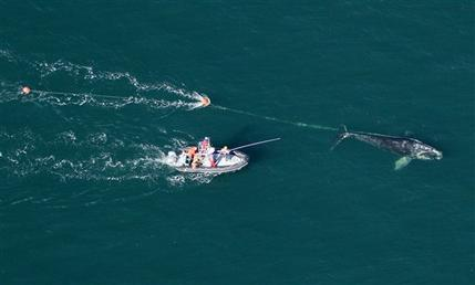 Sedatives used to free whale from fishing line for Free line fishing