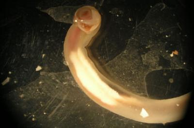 Shipworm Teredo Navalis