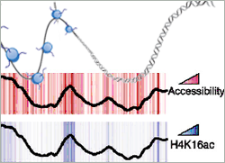 Histone modifications control accessibility of DNA