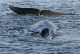 Hope fades for stranded whale in Danish fjord (AP)