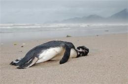 Hundreds of dead penguins dot Brazil's beaches (AP)