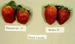 Hydrocooling shows promise for reducing strawberry weight loss, bruising