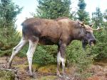Heavy metals and moose