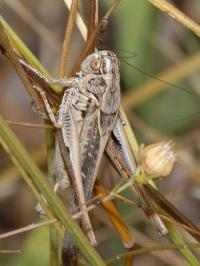 Owzat! Bushcrickets' big secret revealed