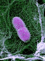 Immune cells deploy traps to catch and kill pathogens