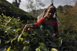 Indian tea tastes different due to climate change (AP)