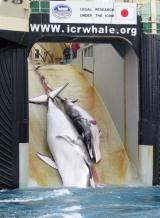 Japan carries out its whale hunt under a loophole in the 1986 international moratorium that allows