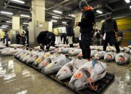 Japanese fishmongers check frozen blue-fin tuna before auction at the world's largest fish market in Tokyo