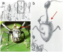 New parasitic fungi found that turn ants into zombies