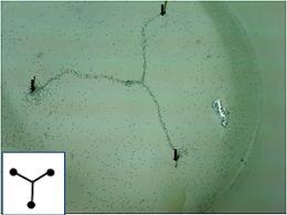 Leader-less ants make super efficient networks