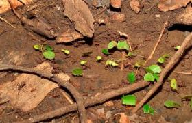 Leafcutter Ant Workers