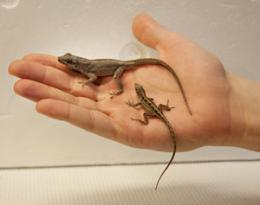Lizard moms choose the right genes for the right gender offspring