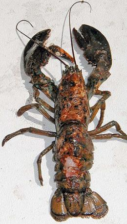 Lobster dieoffs linked to chemicals in plastics